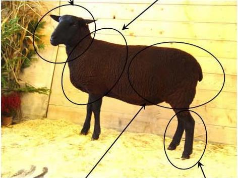 Mouton de race noire suisse - cliquez sur l'image pour en savoir plus